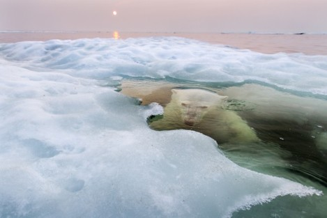 Urso polar fotografado por Paul Souders, para a National Geographic (Foto: Paul Souders)