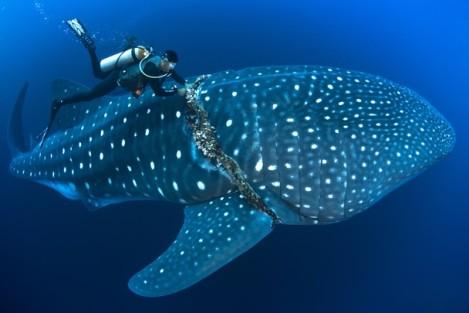 Tubarão Baleia fotografado por David Valencia para a National Geographic (Foto: David Valencia)